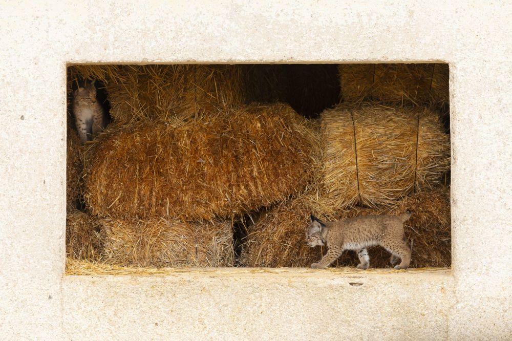 Два котенка пиренейской рыси играют на заброшенном сеновале, где родились.