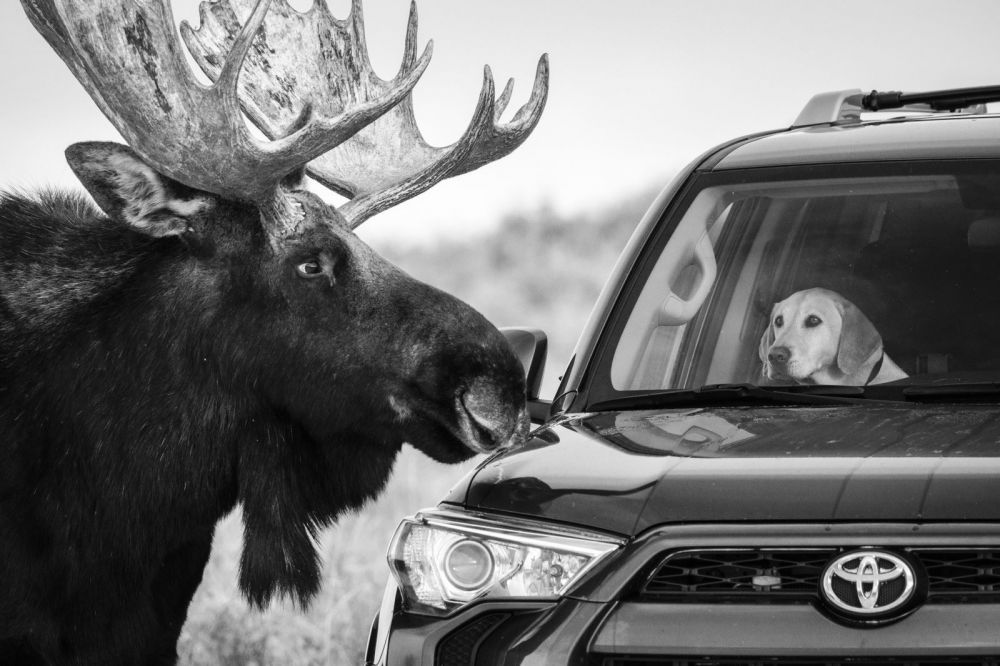 Лось на обочине дороги в национальном парке Гранд Тетон, штат Вайоминг, США.
