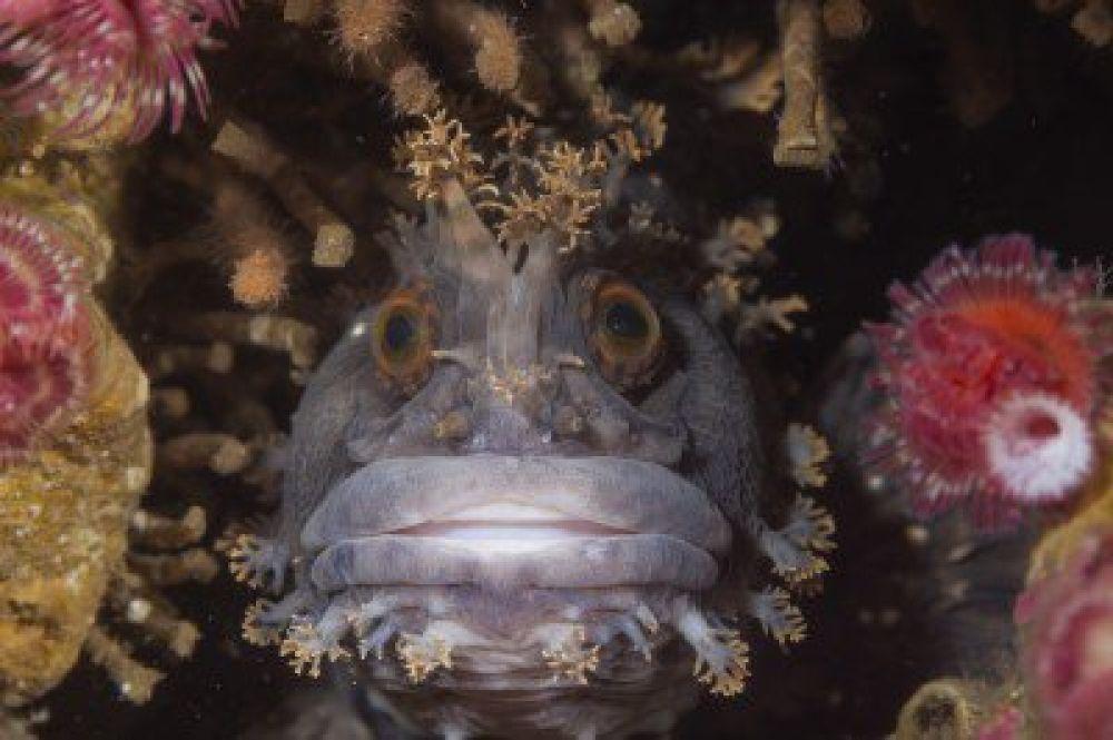 Японская мохнатоголовая собачка. Эти необычные рыбы живут среди камней и скал на мелководье. Снимок сделал российский фотограф Андрей Шпатак.