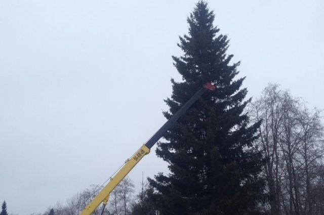 Лесная красавица - 22 метра, её привезут в Сыктывкар 3 декабря.