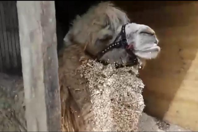 Верблюд Кеша передает тюменцам привет из Санкт-Петербурга