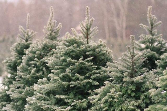Праздник приближается. Сколько будут стоить елки и как накажут браконьеров