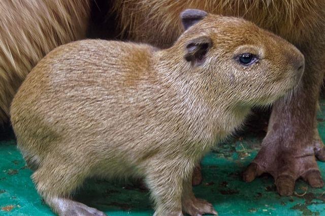 Самые крупные грызуны животного мира с 2009 года произвели на свет в зоопарке уже 50 детенышей.