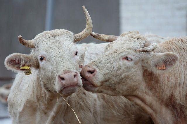 Белый Металлический бык - животное не вредное, но к его встрече нужно хорошо подготовиться.