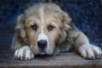 Пёс уже может ходить в течение 20-30 минут.