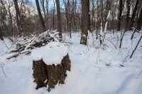 На месте срубленных деревьев планируют посадить новыекрупномеры.