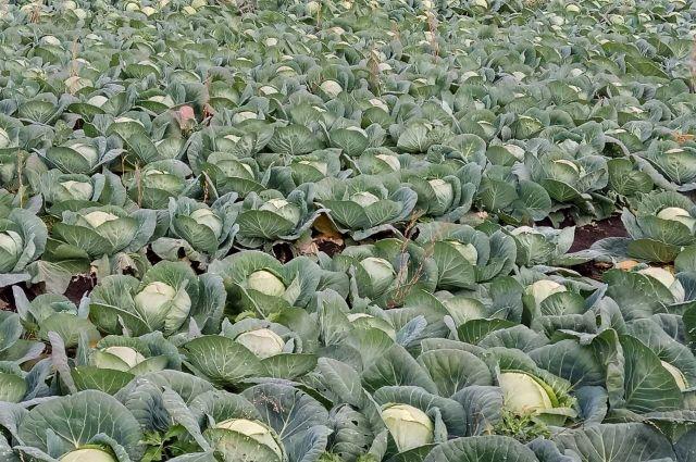 Сегодня местные аграрии закрывают потребность на 95%, при этом почти половину всего объёма делает хозяйство «Гарантия-2».
