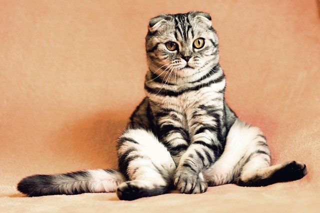 Чаще всего коты мурчат от удовольствия.