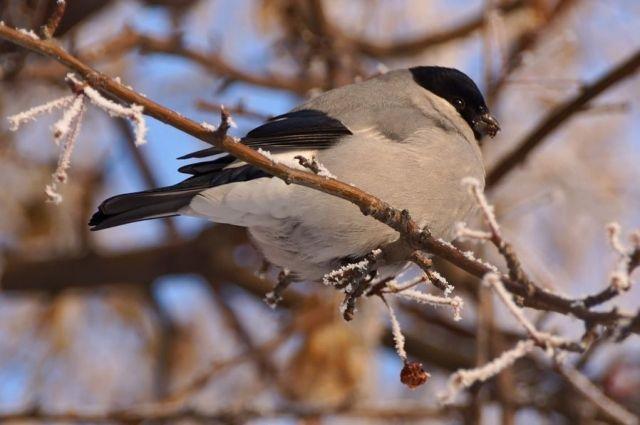 Серый снегирь имеет оперение серое и чёрное с синим металлическим отливом.