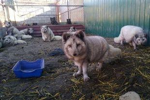 15 пушистых хищников приютил Заурбек в своих вольерах