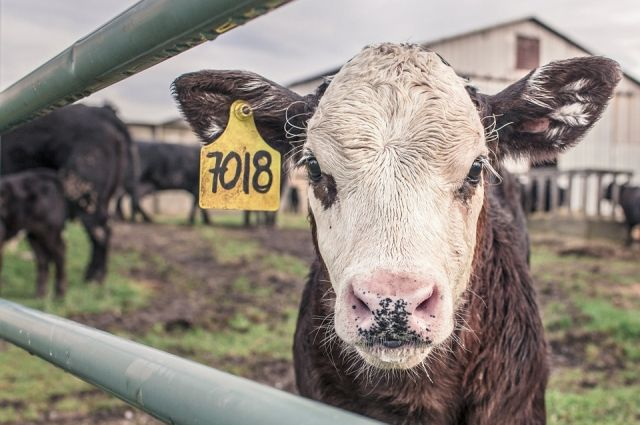 Ряд проектов связан с развитием животноводства.