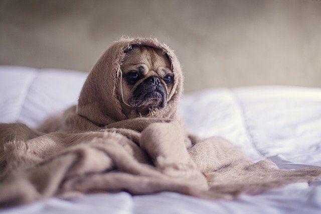 Тюменцам рассказали, почему собак нужно одевать зимой