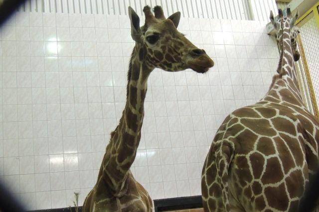 Оказывается, длина языка у жирафа составляет около 40 см.
