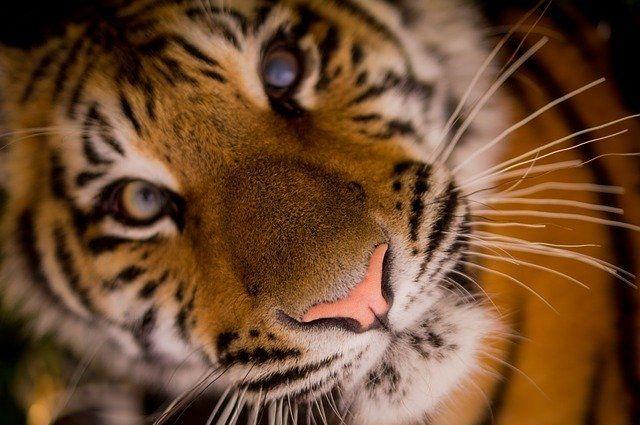 Картина дня в Хабкрае: амурский тигр и отставка главы избиркома