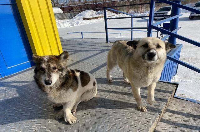 В Орске стая бродячих собак гуляет возле школ