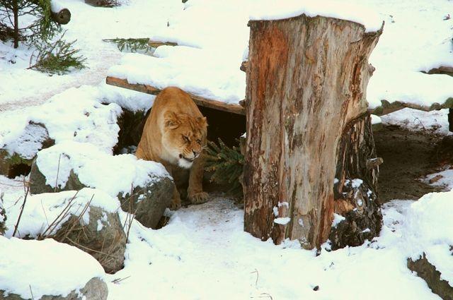Калининградский зоопарк просит посетителей принести живые елки