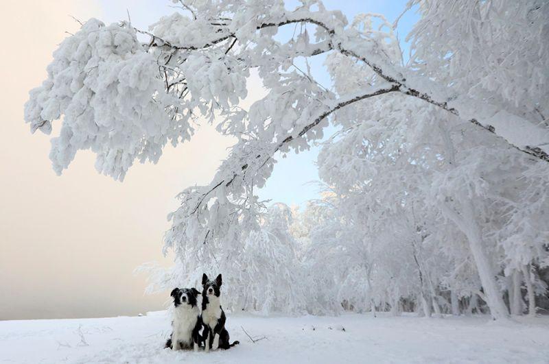 Собаки во время прогулки в 28-градусный мороз на берегу Енисея в Красноярском крае.