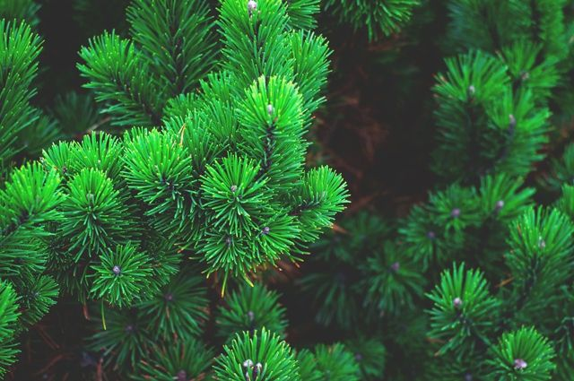 C 16 января калининградцы смогут сдать елки на переработку