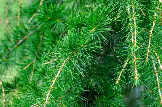 Причина гибели деревьев в изменении климата и насекомых-вредителях.