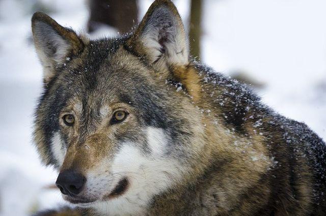 Дикие животные стали чаще появляться на промышленных площадках, нападать на собак.