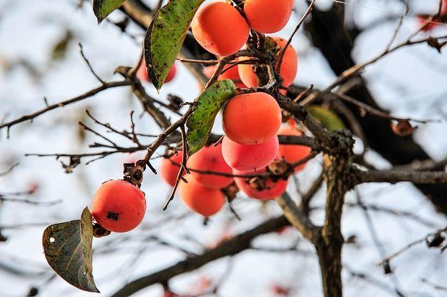 На большое количество витамина А в хурме указывает яркая оранжевая кожица ягоды.
