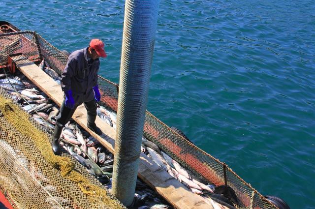 В январе вылов рыбы у берегов Камчатки снизился