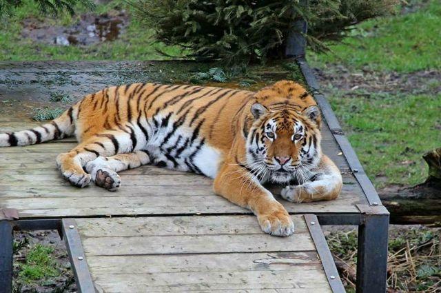 В зоопарке пояснили, чем вызвана странная походка тигра Тайфуна