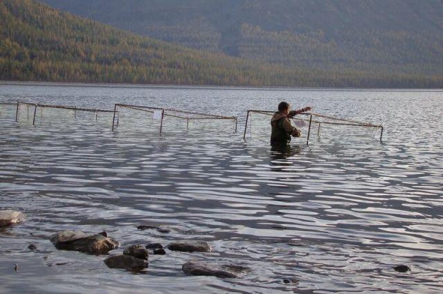 Голец считается самой полезной рыбой в мире.