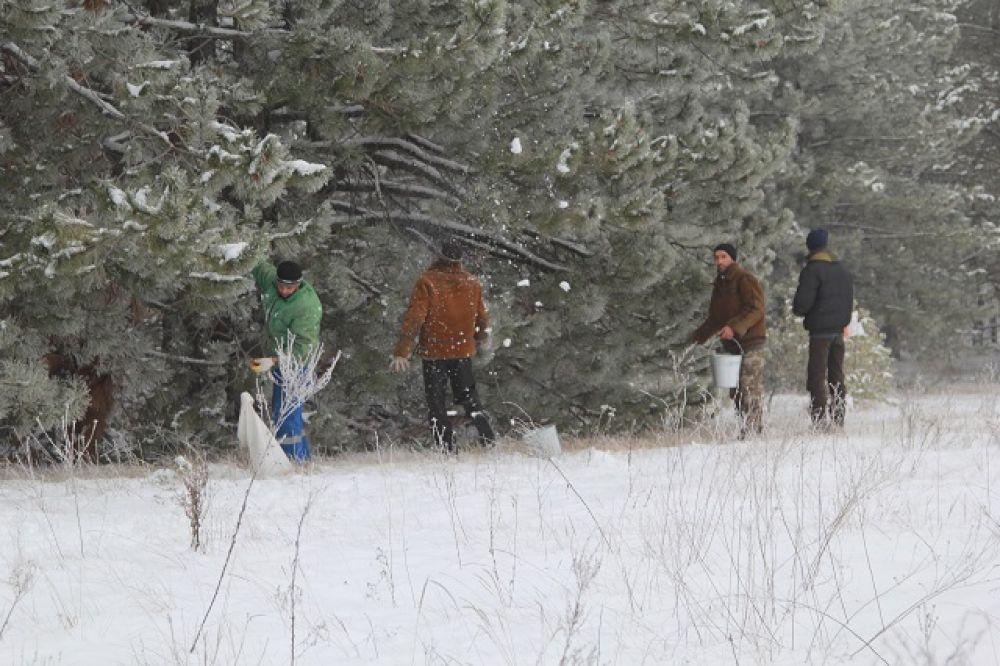 В лесных хозяйствах региона идет работа по сбору природного материала для будущих хвойных деревьев.