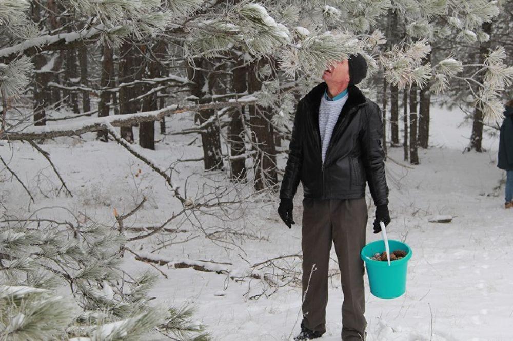 Шишки собирают и работники лесхоза, и местные жители.