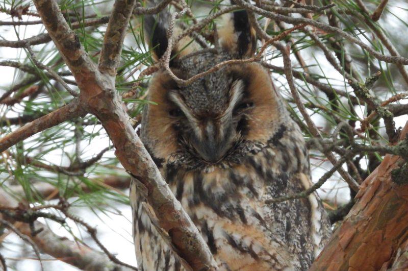 Ушастая сова зимует в населённых пунктах.