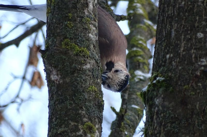 Сойка зимой поедает лишайники.