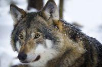 На жителя тюменской деревни напал бешеный волк