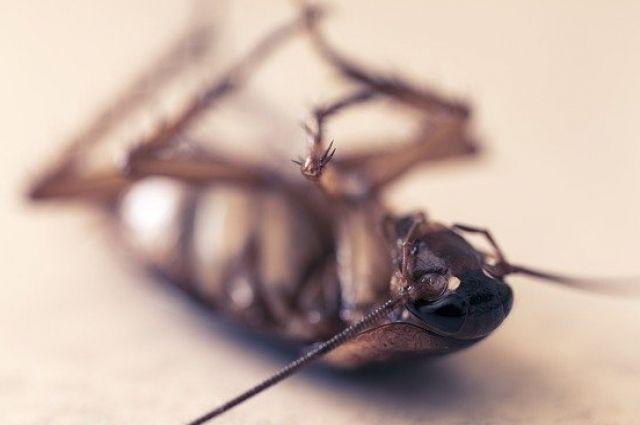 Предотвратить размножение тараканов поможет дезинсекция.