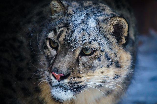 Снежный барс или Ирбис - одна из самых редчайших, красивейших больших кошек на нашей планете.