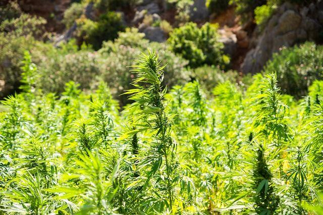Житель Судака получил три с половиной года тюрьмы за выращивание конопли