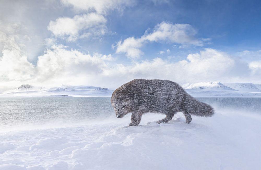 Кроме того, жюри отметили снимок песца, борющегося с сильным ветром в заповеднике Хорнстрандир в Исландии.