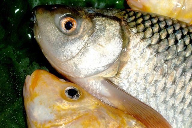 Чаще всего заражение обусловлено употреблением в пищу плохо обработанной рыбы.