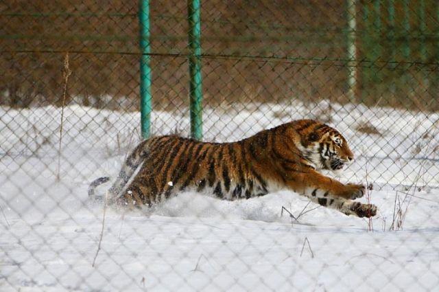 В Черниговской области в зоопарке тигр загрыз сотрудника. Иллюстративное фото
