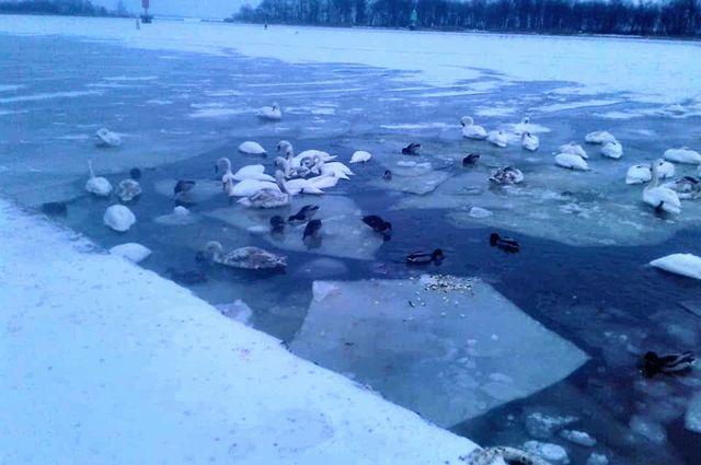 На водоёмах Калининградской области массово гибнут лебеди