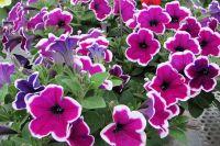 Петуния - одни из любимых цветов на клумбах, которые могут быть разных форм и расцветок.