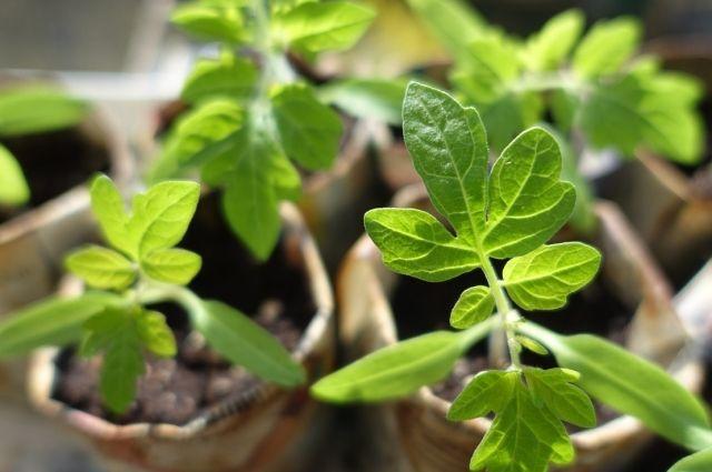 Февраль — месяц, когда пора сеять рассаду.