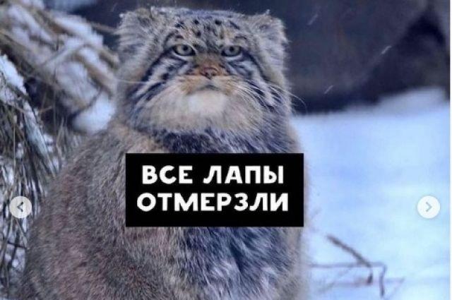 Манул не дождался маршрутку в Новосибирске.