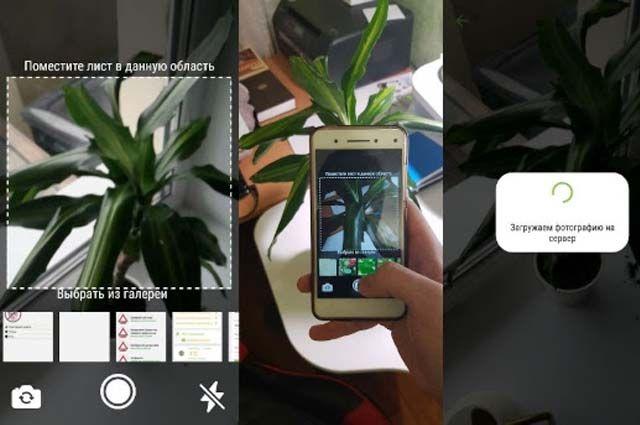 Принцип работы приложения: пользователь фотографирует растение, а затем сервис распознаёт, что это за культура, чем она болеет.