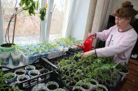 В квартире рассаду томатов поливаем раз в пять дней, в теплице– реже.