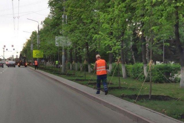 В середине мая на проспекте Ленина высадили 227 лип и яблонь. Как выяснилось, с нарушением конкурентных процедур. Фото: cheladmin.ru