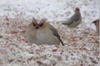 Жители Новосибирска заметили на улицах большое количество свиристелей. Голодные птицы прилетают в города Сибири зимой и ищут, чем полакомиться. Целью свиристелей в Новосибирске стала рябина.