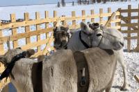 Стартуют Дни оленевода 27 февраля