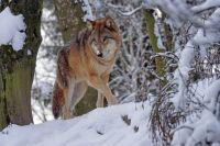 Облава на волка шла несколько дней.