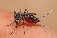 Лихорадкой денге заражаются через комариные укусы.
